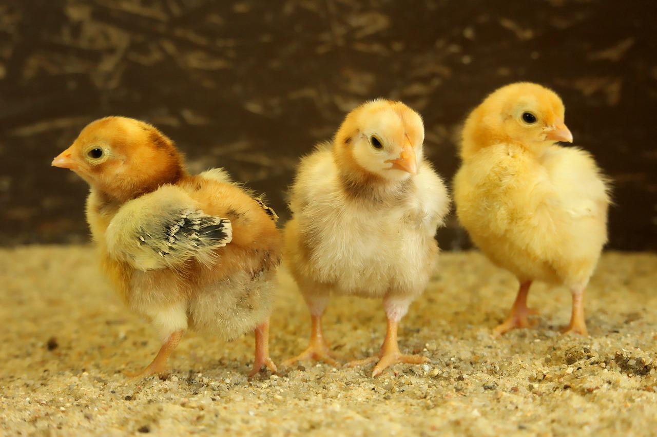 Bird Flu At Irvine's Chickens: Botswana Cancels Imports
